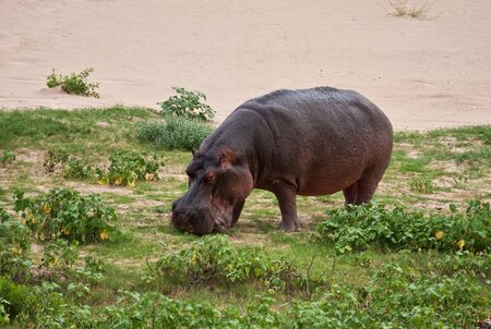 terrestrial mammal: Hippo eating green grass in dry river bed Editorial