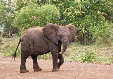 Young elephant walking over the road looking playful Stock Photo - 13776883