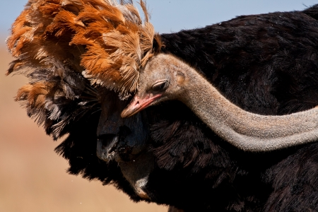 stretchy: Ostrich looking for something under his feathers with his long stretchy neck