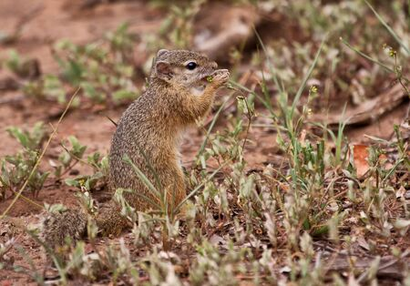 Squirrel eating grass seeds in a dry part of South Africa photo