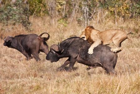 Male lion attack huge buffalo bull while riding on his back Archivio Fotografico