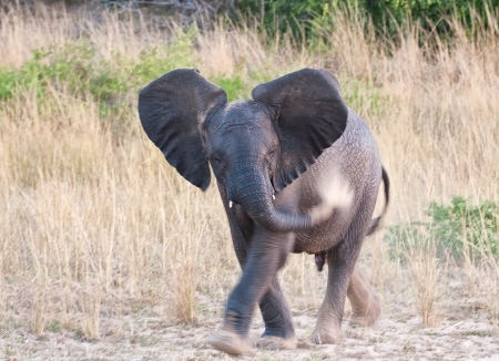 Small elephant throwing sand on his body while walking through the grass land Stock Photo