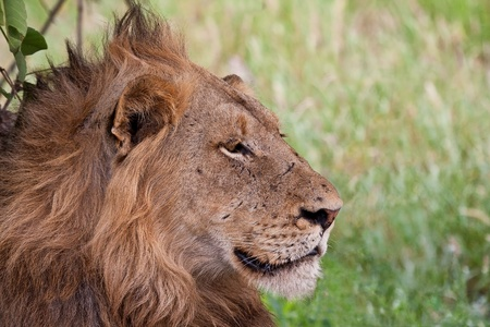 Male lion lying in the shade staring in front of him Stock Photo - 14377359