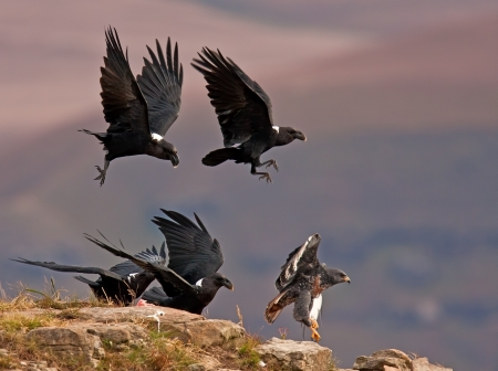 Ravens chasing away a Jackal Buzzard on a high mountain photo