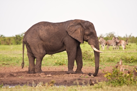 waterhole: Single elephant standing at waterhole on plain big