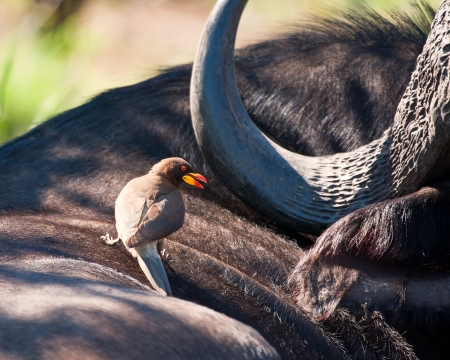 oxpecker: Yellow billed ox-pecker on buffalo looking for ticks Stock Photo