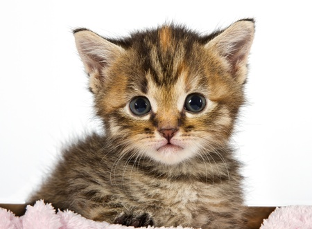 Kitten looking  adorable and cute sitting in a box with a pink blanket Stock Photo - 16729656