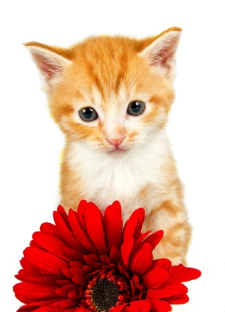 Ginder kitten standing behind a red flower looking very curious