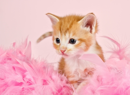 Pink feathers surrounding a ginder kitten that is so adorable Stock Photo