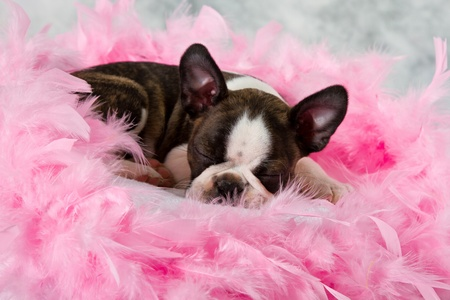 Boston terrier puppy sleep among pink feathers tired photo