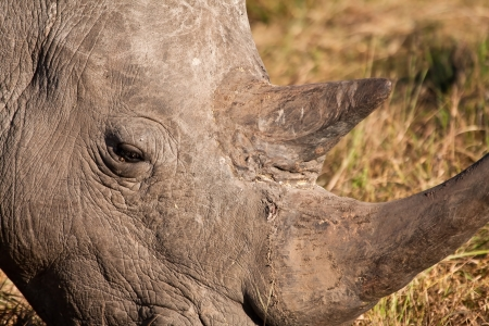 Close-up of rhino head with big horns photo
