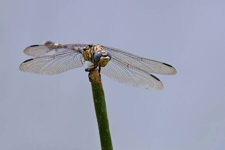 reed stem: Dragonfly sitting on a reed stem in the sun yellow blue