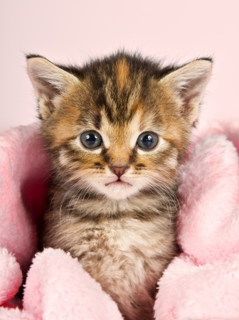 Small kitten wrapped in pink banket with pink background Banco de Imagens