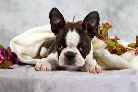 Boston terrier lay with flower string and white towel in studio photo