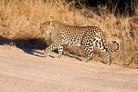 Male leopard walking along a dirt road in morning sun photo