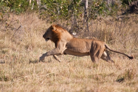 Lion male hunt run fast in brown grass chase photo
