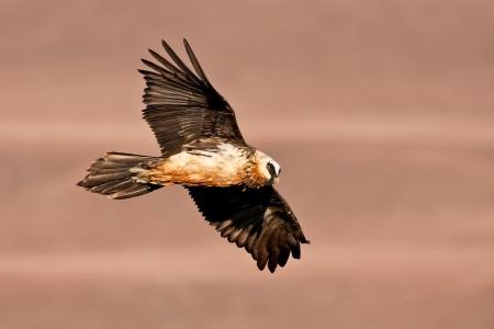 Bearded Vulture Segelfliegen in Morgensonne mit braunem Hintergrund