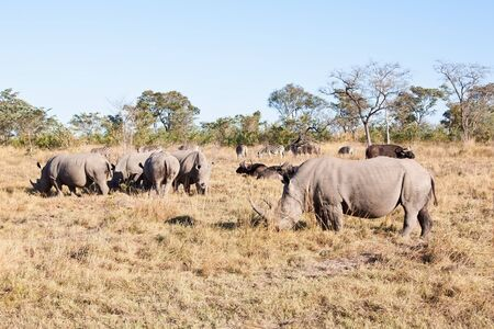 Rhino herd standing on grass plain protecting each other photo
