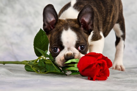 funny boston terrier: Boston terrier puppy stand and chew on flower