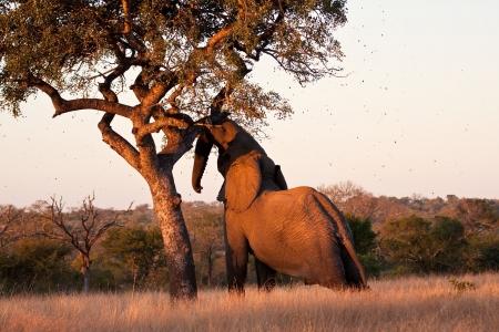 Elephant push marula tree high leaves falling to break photo