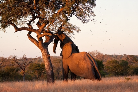 Elephant push marula tree high leaves falling to break