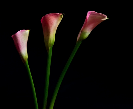 Three pink arum lily on black backgrounf with soft light photo
