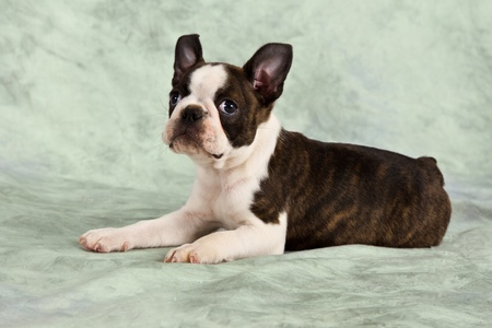 funny boston terrier: Boston terrier puppy lay down in studio cute resting look up Stock Photo
