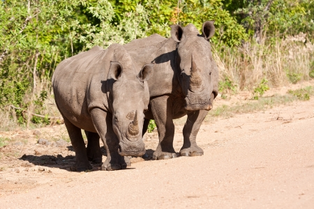 Two rhino standing in the road look careful photo