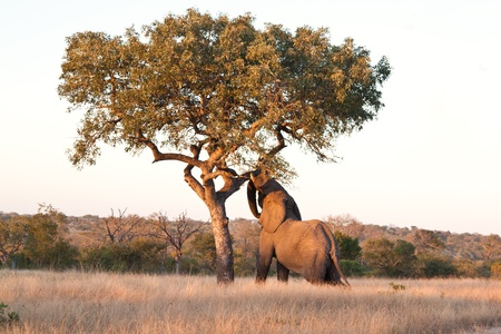 Elephant push marula tree high leaves falling to break photo