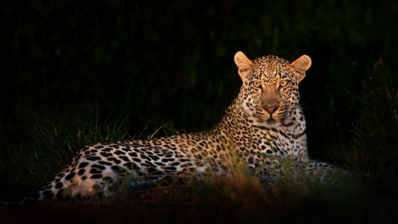 Leopard lying in darkness with selective light resting waiting