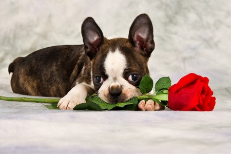 funny boston terrier: Boston terrier puppy lay down and chew on flower