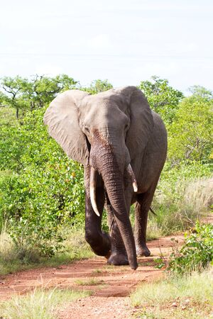 elephant angry: Angry elephant walking along road in the morning sun fast
