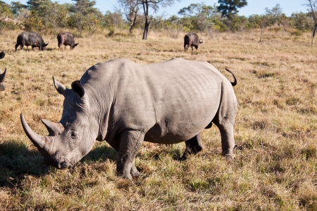 Rhino walking on grass plain with big horns photo