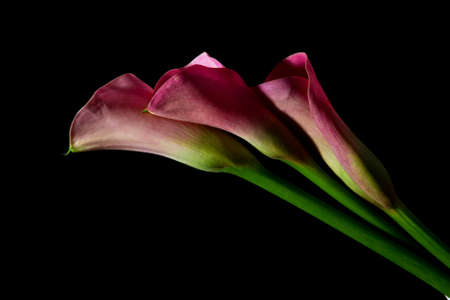 arum flower: Three pink arum lily on black backgrounf with soft light