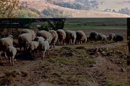 Sheep walking on farm in winter with thick wool photo