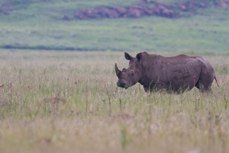 poach: Rhino standing in nature eating grass grey large dangerous Stock Photo