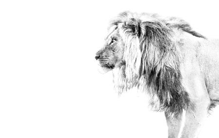 Lion hunting high key black and white walking
