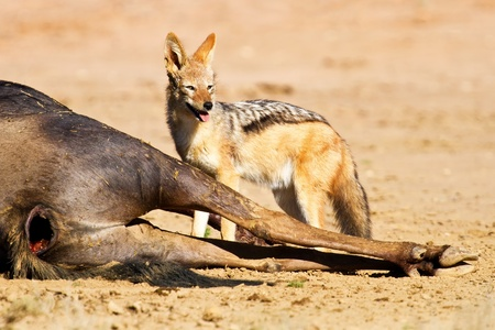 carcass: Black backed jakhals eten dode gnoe karkas in kgalakgadi Stockfoto
