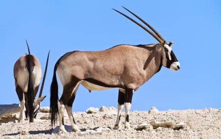 grazer: Oryx grazing in the desert white sand blue sky