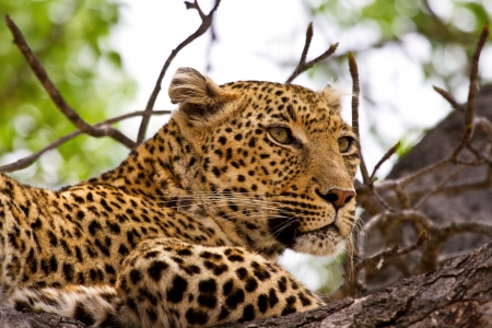 Leopard lying in tree in the shade resting looking photo