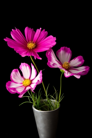 white daisy: Cosmos pink and white flower in studio closeup black background