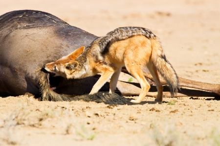 Jackal eating carcass in desert dead blue wildebeest photo