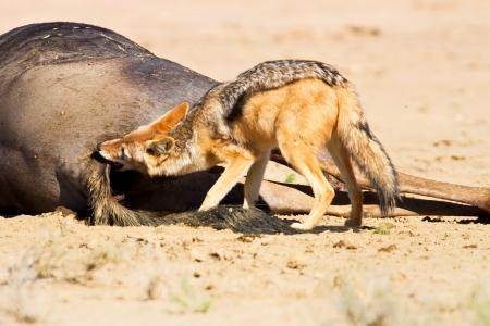 scavenging: Jackal eating carcass in desert dead blue wildebeest Stock Photo