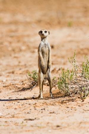 gaurd: Suricate standing on sand in the kalahari sun looking