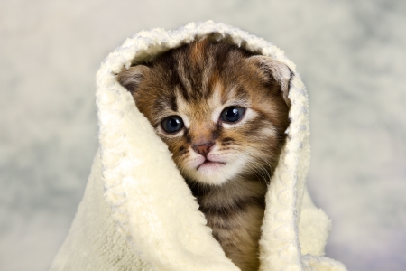 Kitten closed in towel warm sleepy small white