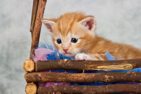 Kitten in basket brown wood small cute afraid photo