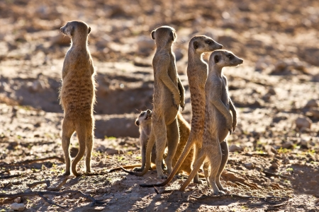 Suricate family standing near nest in sun looking for danger