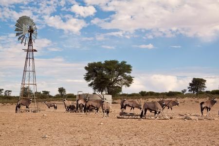 pozo de agua: Oryx pastoreo en el seco y caluroso sol desertin hambre