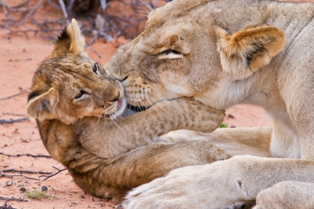 female lion: Lion cub play with mother on sand with love