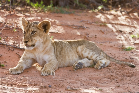 Lion cub lay on brown sand in kalahari looking